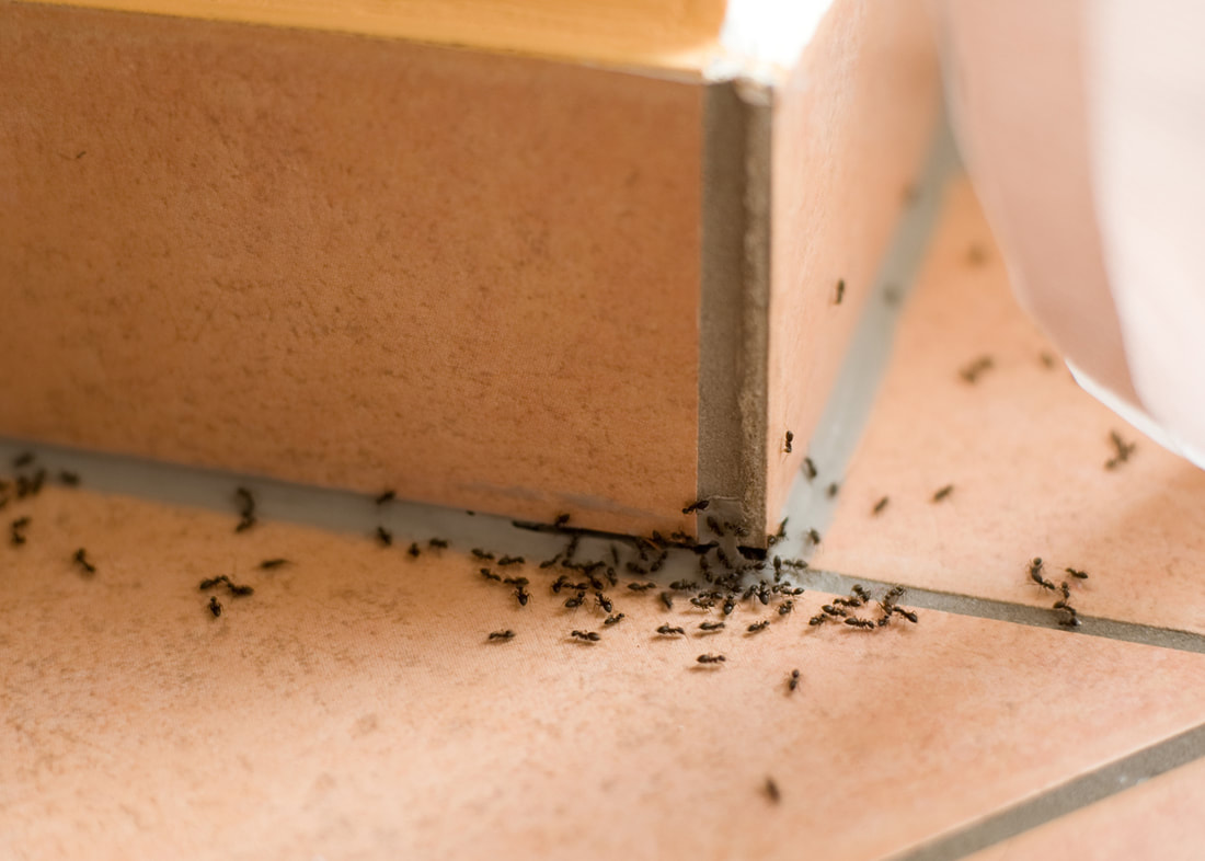Pest Control Recommendations For 3 Common Ant Species