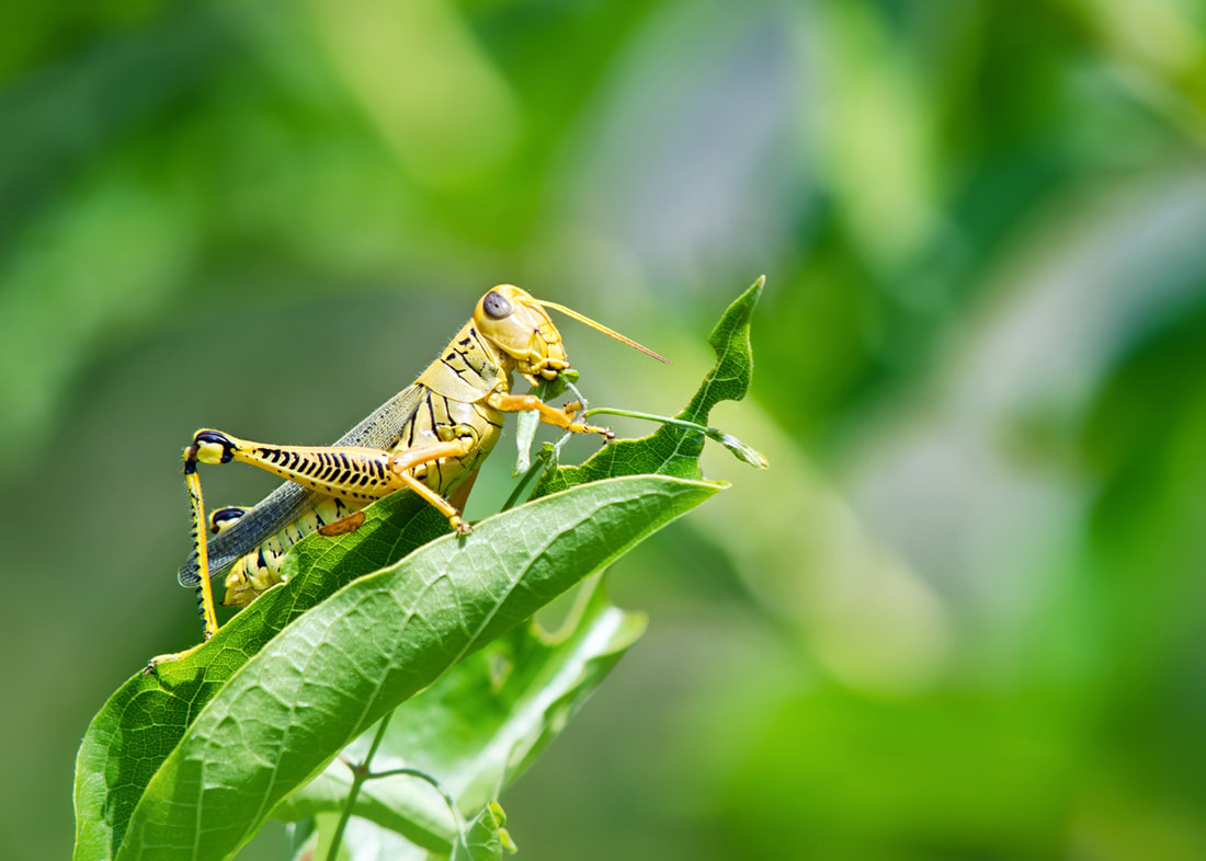 Pest Control Solutions For Your Giant Grasshopper Infestation