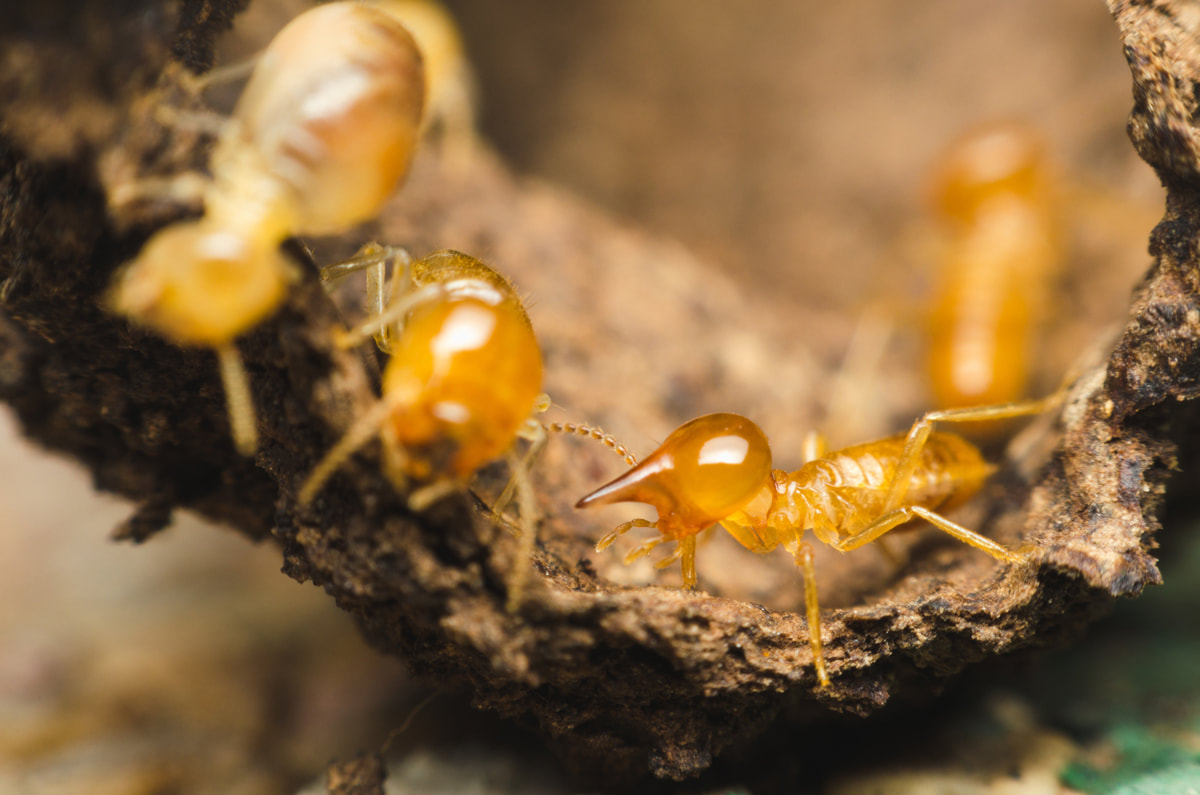 Termite Control Advice For New Home Buyers