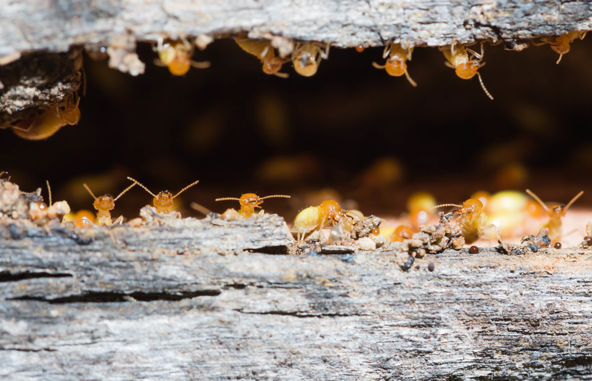 Termite Control For Now And Always
