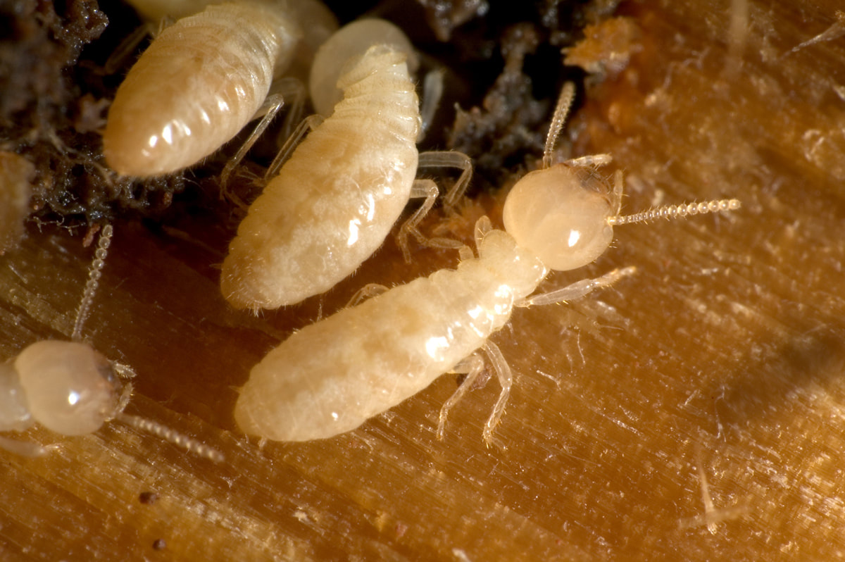 The Most Common Damage To Homes Without Termite Control