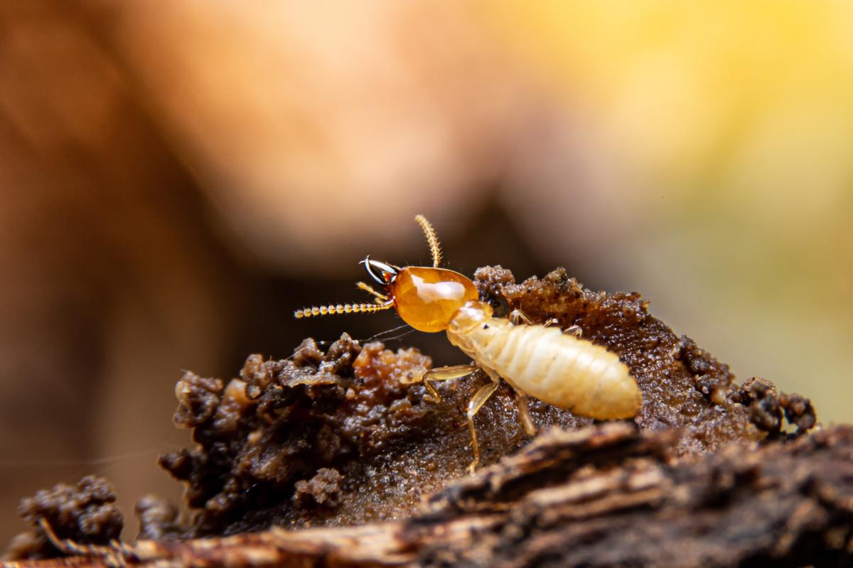 The 5 W's Of Termite Control