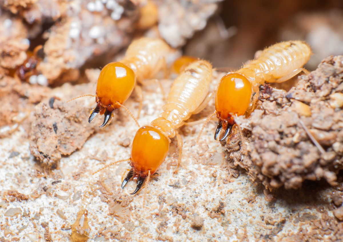 A Timeline For Damage To Homes Without Termite Control