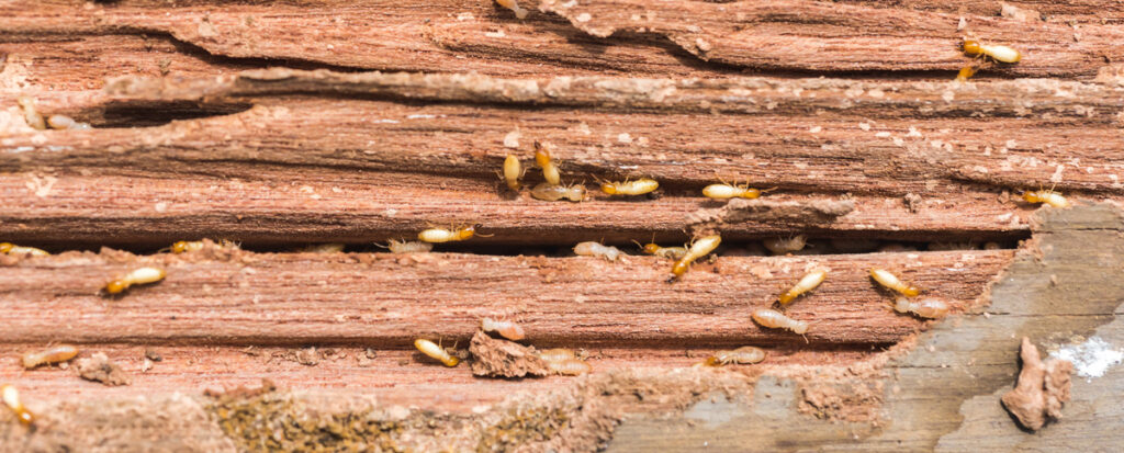 The 3 Natural Termite Control Remedies We Recommend