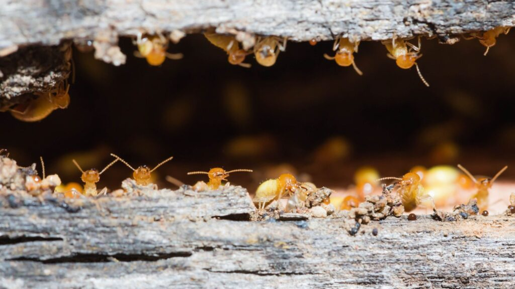 Everything You Need to Know About Termite Control In Volusia County